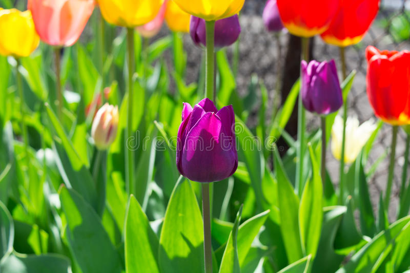Floración violeta del tulipán imagen de archivo libre de regalías