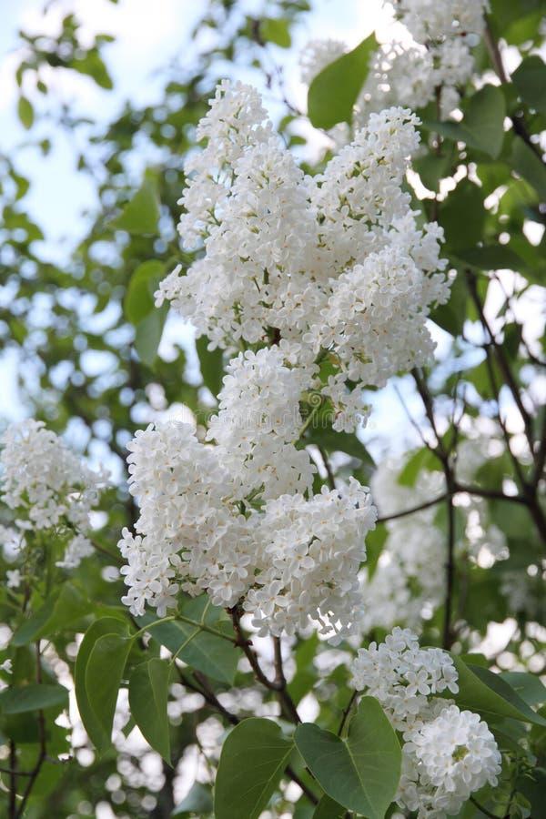 Floración vulgaris del Syringa blanco en verano foto de archivo libre de regalías