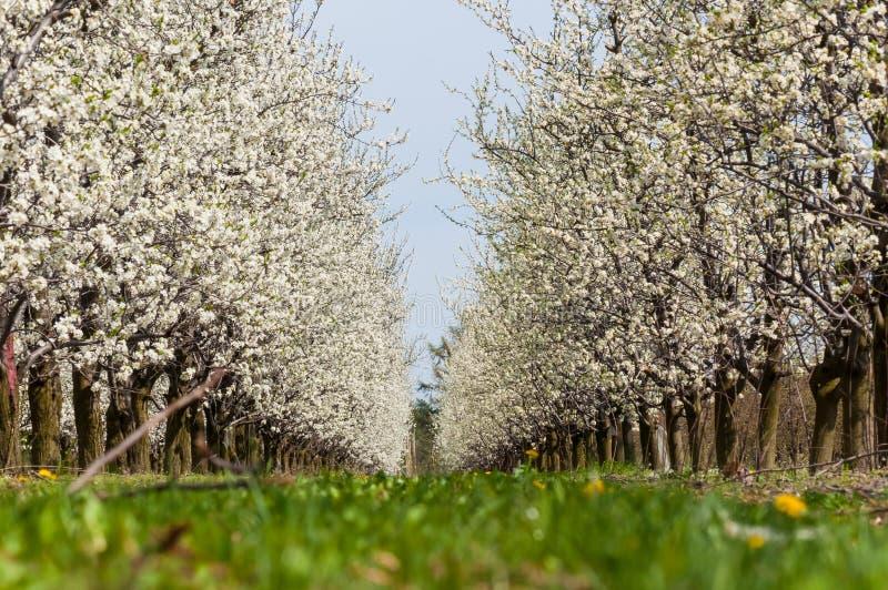 Floraci?n blanca de las flores del ciruelo de la primavera estacional Flor de la huerta del ciruelo en Polonia fotografía de archivo libre de regalías