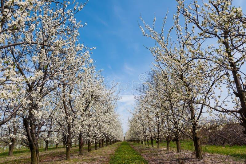 Floraci?n blanca de las flores del ciruelo de la primavera estacional Flor de la huerta del ciruelo en Polonia fotografía de archivo