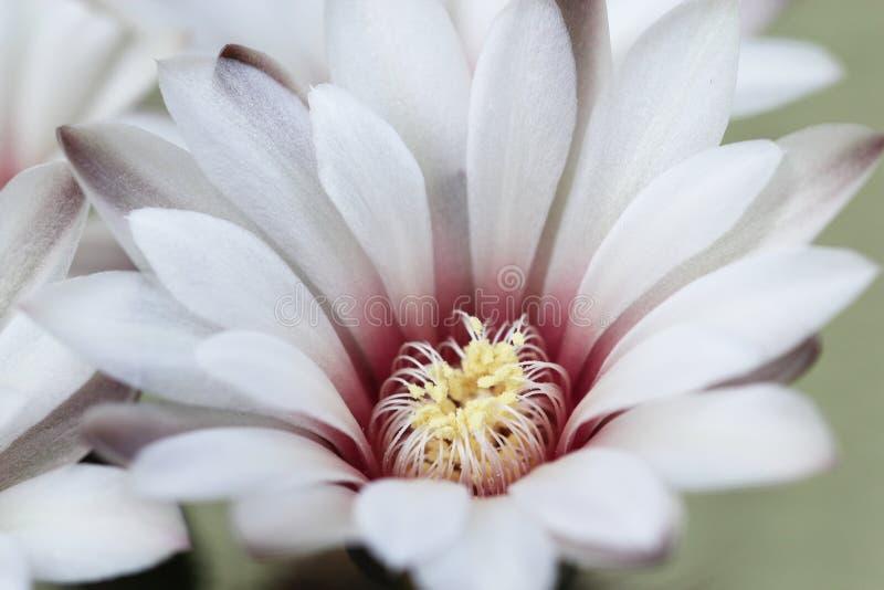 Floraci?n blanca hermosa de la flor del cactus fotografía de archivo