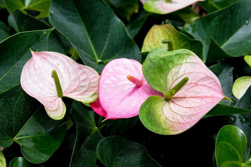 Floraci?n de la flor del Anthurium o de flamenco en jard?n Flores de flamenco Lirio del flamenco foto de archivo