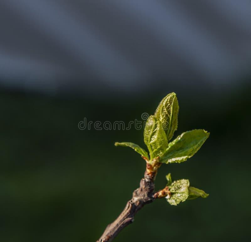 Floraci?n de la nectarina y hoja verde en d?a soleado del color de la primavera foto de archivo