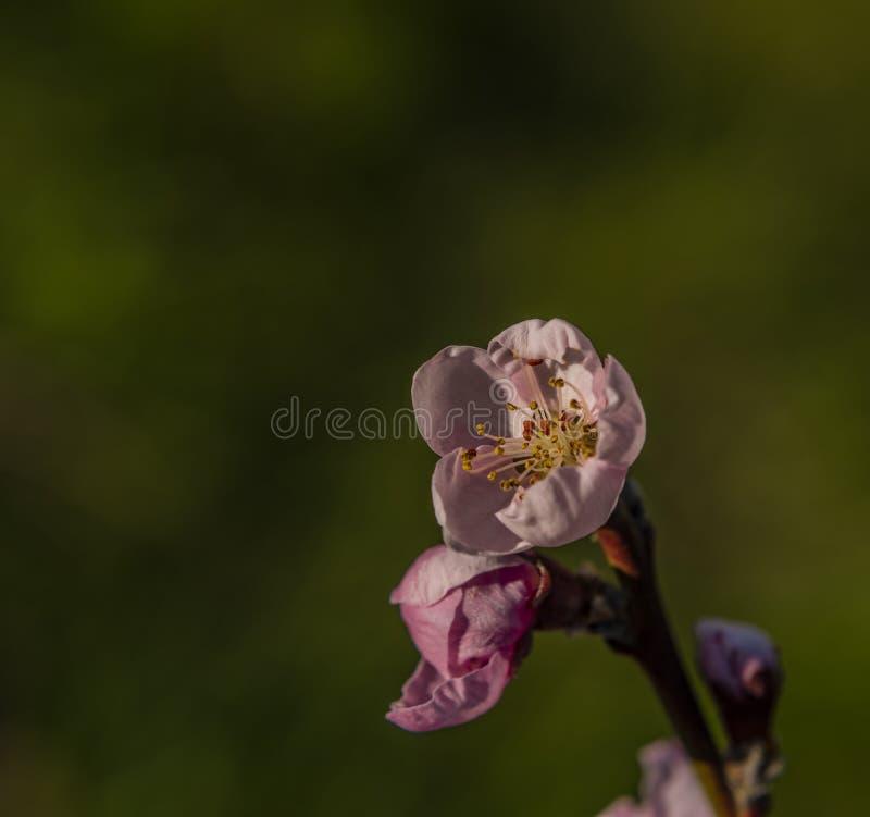 Floraci?n de la nectarina y hoja verde en d?a soleado del color de la primavera imagen de archivo libre de regalías