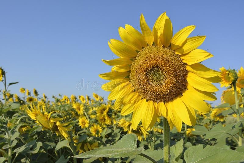 Floraci?n del girasol Primer de una inflorescencia del girasol contra un cielo despejado azul brillante y un campo de girasoles fotos de archivo libres de regalías