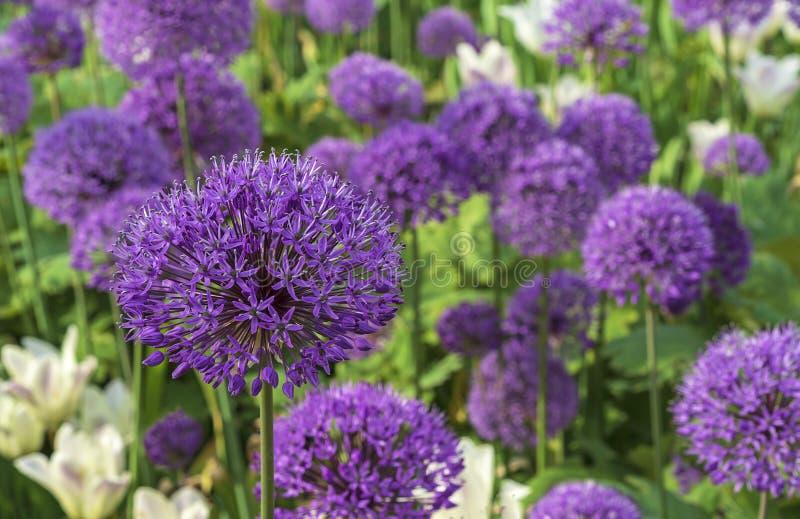 Floraci?n gigante de Giganteum del allium de la cebolla Campo del allium/de la cebolla ornamental Pocas bolas de las flores flore fotografía de archivo