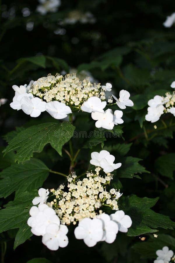 Floraci?n hermosa en un d?a soleado, fondo verde del viburnum foto de archivo libre de regalías