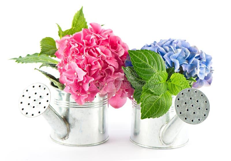Floraciones azules y rosadas del hydrangea imagen de archivo