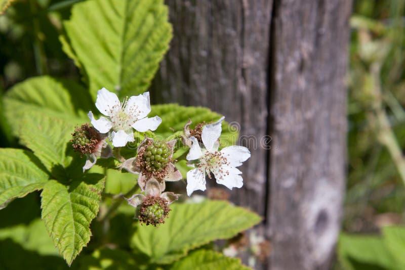 Floraciones de Blackberry fotos de archivo