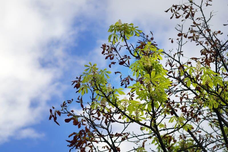 Floraciones de la castaña en otoño imagenes de archivo