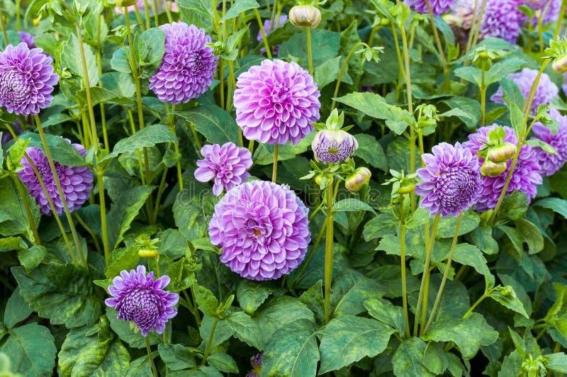 Floraciones de la dalia, fondo de la naturaleza imagen de archivo libre de regalías