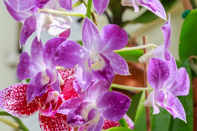 Floraciones de la flor de la orquídea foto de archivo