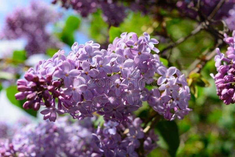 Floraciones de la lila fotos de archivo
