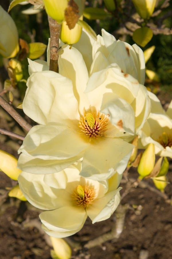 Floraciones de la magnolia imagenes de archivo