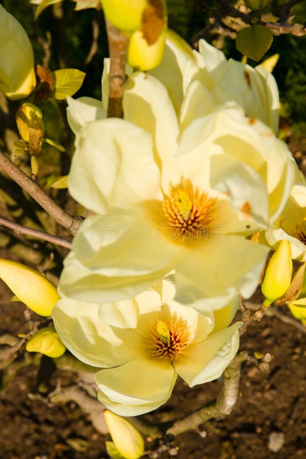 Floraciones de la magnolia imagen de archivo
