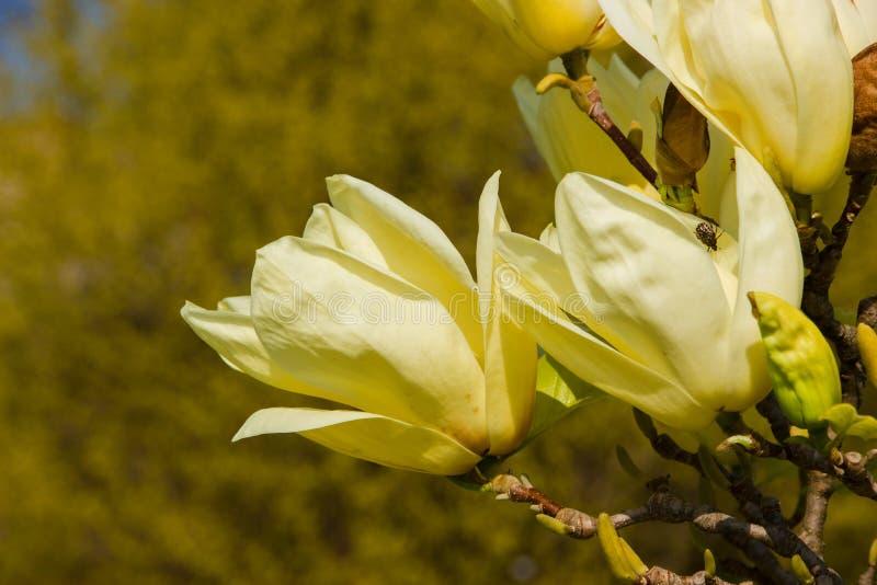 Floraciones de la magnolia foto de archivo libre de regalías