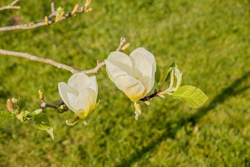 Floraciones de la magnolia fotografía de archivo