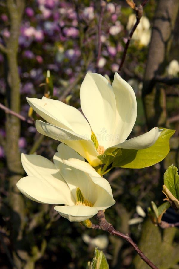 Floraciones de la magnolia fotografía de archivo libre de regalías