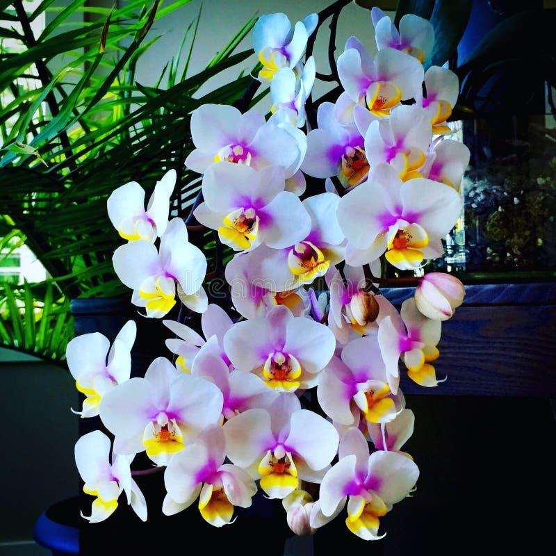 Floraciones de la orquídea fotos de archivo