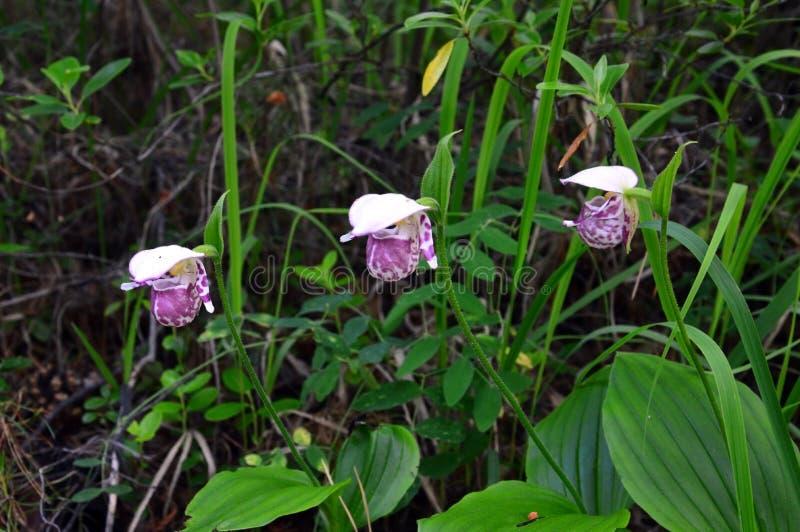 Floraciones de la orquídea de deslizador de Venus en el mayo-junio Planta de la flor fotografía de archivo libre de regalías
