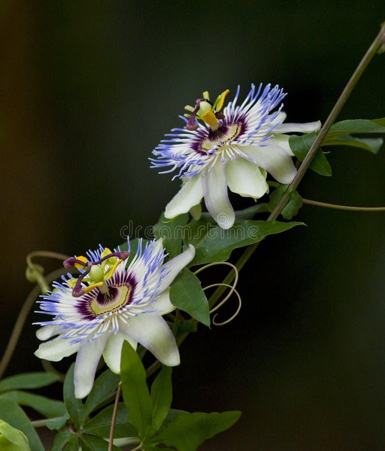 Floraciones de la pasionaria imagen de archivo libre de regalías