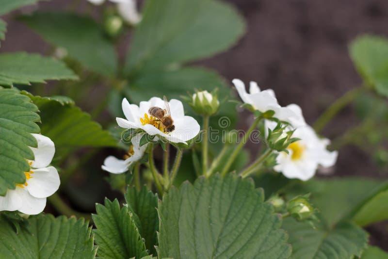 Floraciones del arbusto de fresa con las flores blancas en primavera fotos de archivo