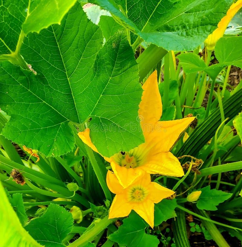 Floraciones del calabacín en el jardín fotos de archivo