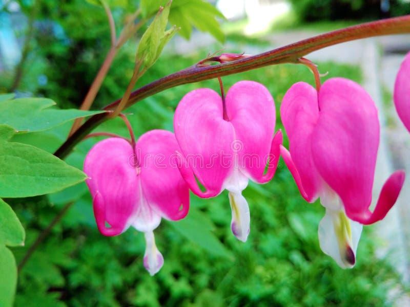 Floraciones del Dicentra foto de archivo