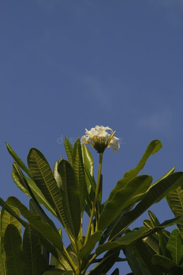 Floraciones del Frangipani en el árbol fotos de archivo