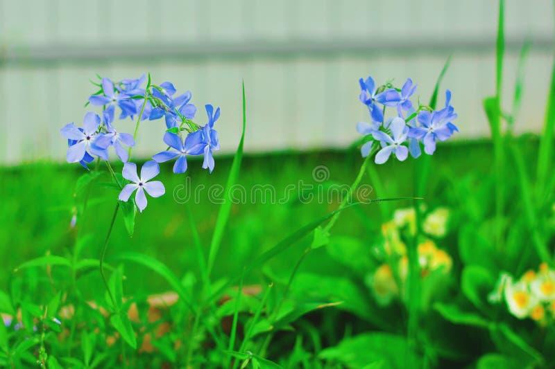 Floraciones del subulata del polemonio con las flores azules claras Primer Polemonio - cubierta de tierra, floraciones en primave imagenes de archivo