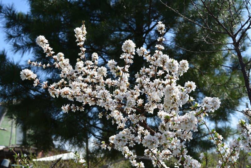 Floraciones del tomentosa del Prunus de la cereza de Nanking en primavera temprana con las flores blancas hermosas fotos de archivo libres de regalías