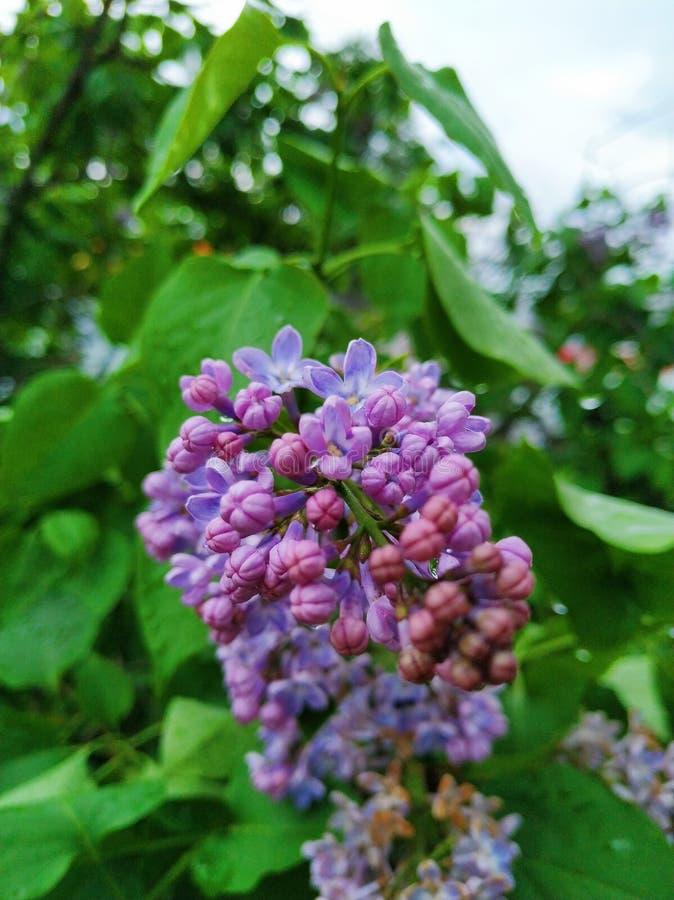 floraciones hermosas de la lila imágenes de archivo libres de regalías