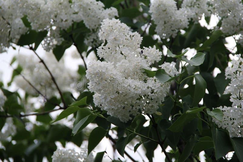 Floraciones hermosas mismas de la lila en el parque foto de archivo libre de regalías