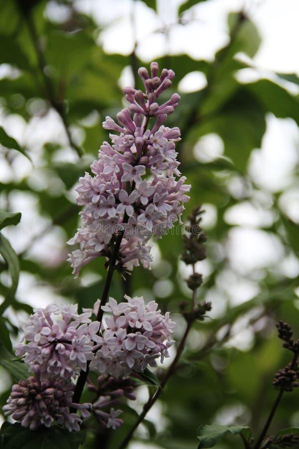 Floraciones hermosas mismas de la lila en el parque fotografía de archivo