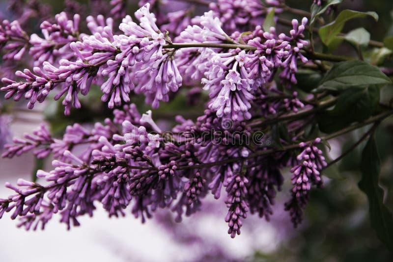 Floraciones hermosas mismas de la lila en el parque imagenes de archivo