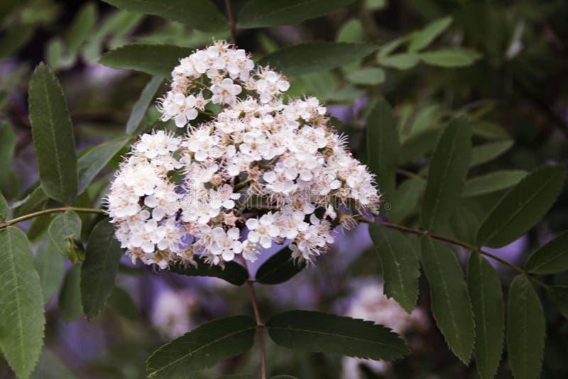 Floraciones hermosas mismas del serbal en el parque foto de archivo