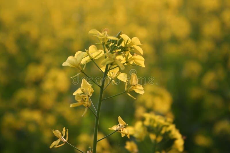 Floraciones la India de la flor de la mostaza foto de archivo