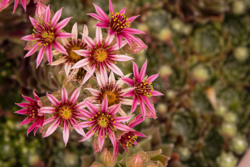 Download Floraciones Magentas, Asteroides De La Flor De Gallinas Y Planta De Los Polluelos Foto de archivo - Imagen de floración, pétalo: 41916130