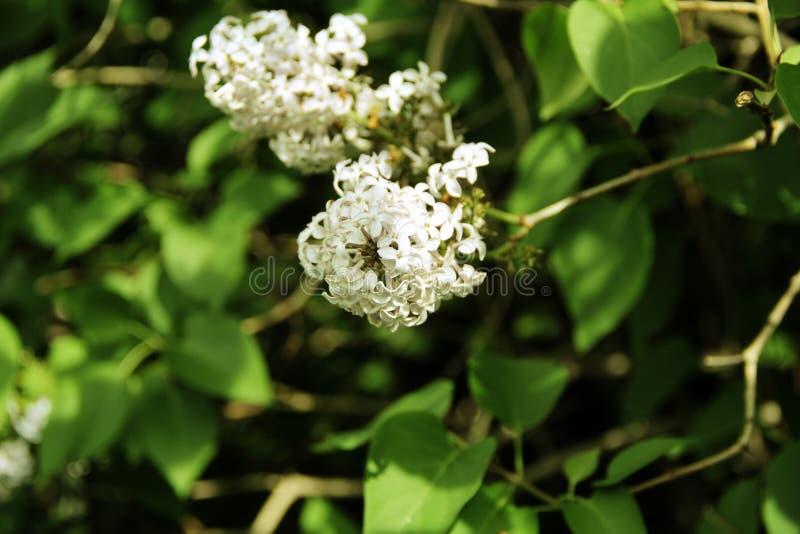Floraciones muy hermosas del lilc en el parque imagen de archivo libre de regalías