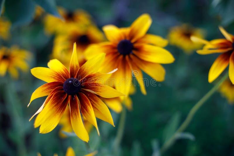 Floraciones Negro-observadas de Susan en el jard?n fotos de archivo libres de regalías