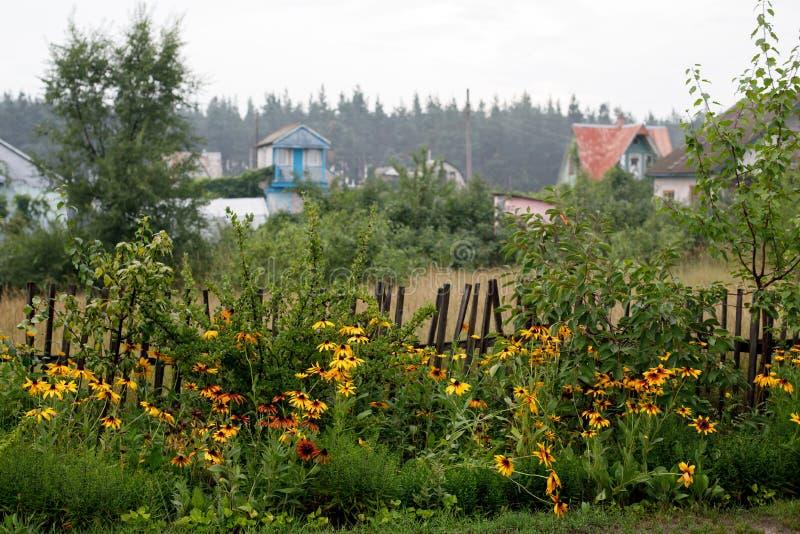 Floraciones Negro-observadas de Susan en la cerca de madera en el pueblo fotografía de archivo