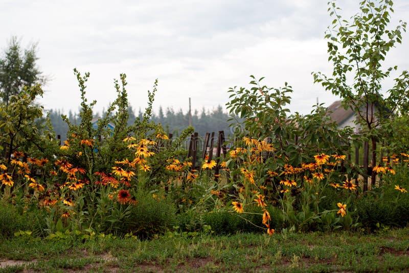 Floraciones Negro-observadas de Susan en la cerca de madera en el pueblo imagen de archivo libre de regalías
