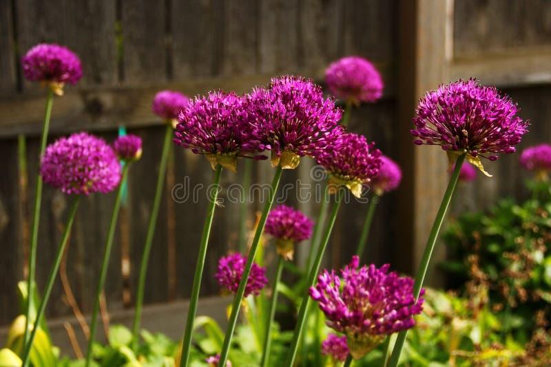 Floraciones perennes púrpuras foto de archivo