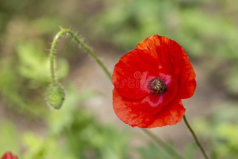 Floraciones rojas de la amapola en verano Pétalos finos brillantes de la amapola fotos de archivo libres de regalías
