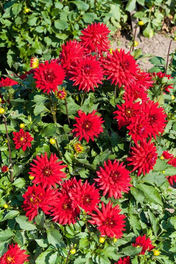 Floraciones rojas de la dalia fotografía de archivo