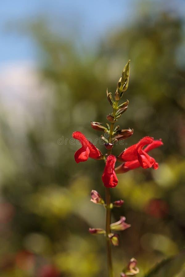 Floraciones rojas de la flor del fancy' de los 'Phyllis de Salvia fotos de archivo