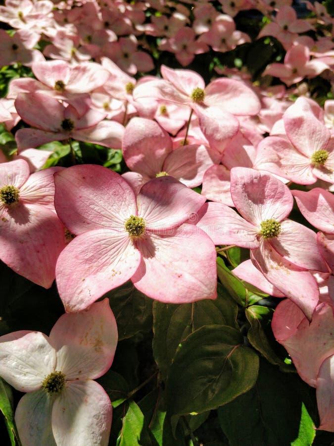floraciones Rojo-rosadas del cornejo de florecimiento, del kousa del Cornus y de x27; Rosea& x27; foto de archivo