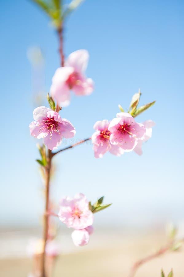 Floraciones rosadas en primavera en un árbol frutal floreciente fotografía de archivo