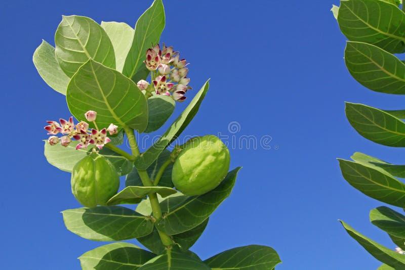 Floraciones y vainas de la semilla en un Milkweed gigante fotografía de archivo libre de regalías