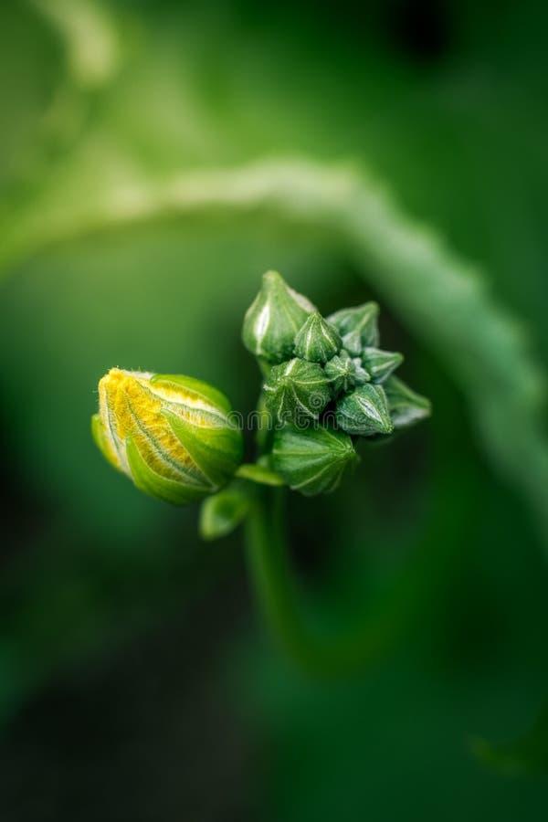 Floraison asiatique de melon photos stock
